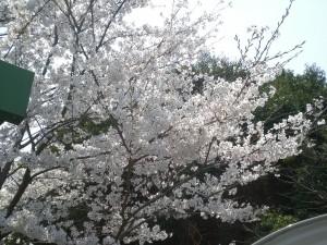 陸運局の桜