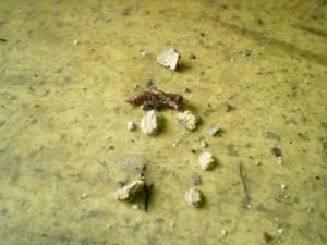 穴蜂の幼虫が出てきた!