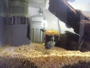 金魚を追いかける