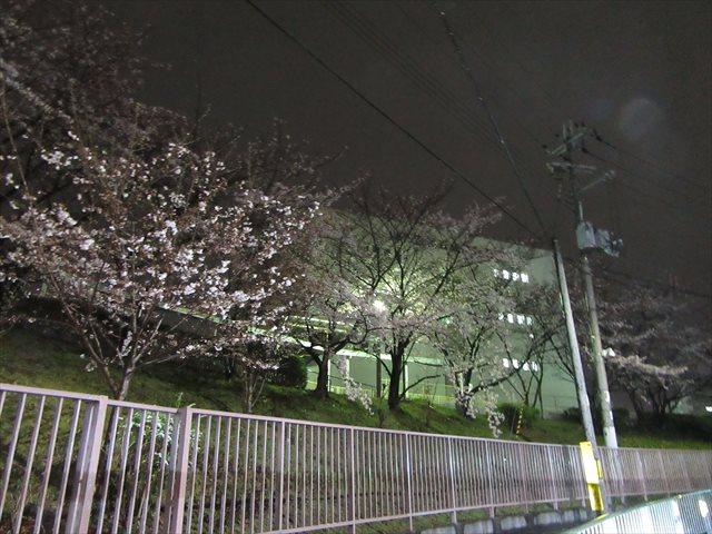 光明池運転免許試験場の桜